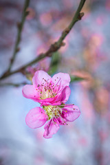 Closeup of a Pink and white Japanese cherry blossom  Flower (Prunus serrulata) in a garden, Cape Town, South Africa