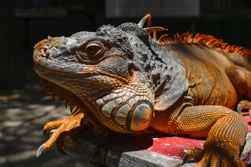 Portrait of seriously looking orange iguana sitting on the wooden background in Bali, Indonesia