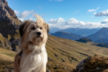 Portrait of a cute dog with mountains in the background in the Puez Geisler Nationalpark in the European Alps, Italy