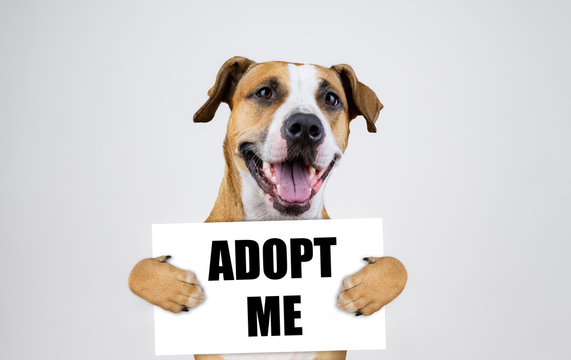 """Pet adoption concept with staffordshire terrier dog.  Funny pitbull terrier holds """"i was adopted"""" sign in studio background"""
