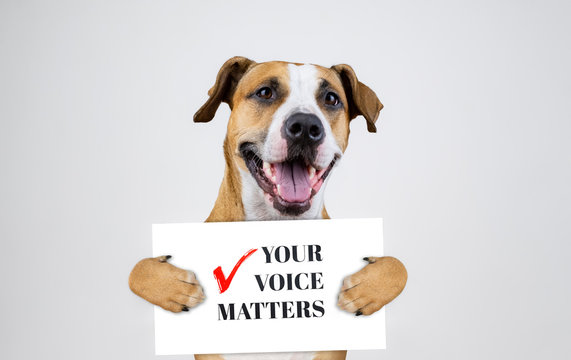 """American election activism concept with staffordshire terrier dog.  Funny pitbull terrier holds """"your voice matters"""" sign in studio background"""
