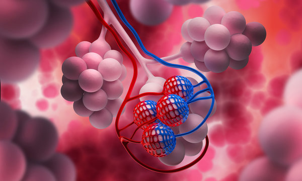 Alveolen - Lungenbläschen
