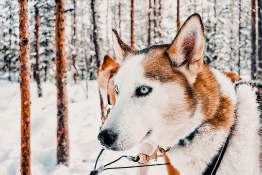 Husky dog sled in Finland of Lapland winter