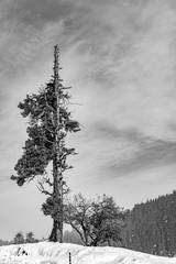 Pine Tree in Gulmarg