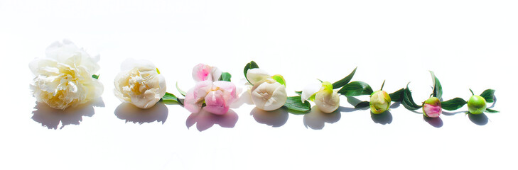 Peony flowers. The layout from an unopened Bud to a flower. Flowers on white background.