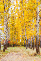 Deurstickers Natuur Beautiful autumn in forest of birches Bogolyubovo
