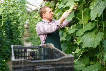 Worker harvesting fresh squash