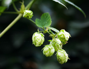 Hop plant over blurred dark background