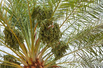 Green dates on a palm tree, close-up photo