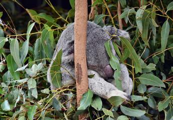 Cute koala is sleeping on a tree branch eucalyptus