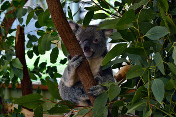 Cute koala looking on a tree branch eucalyptus