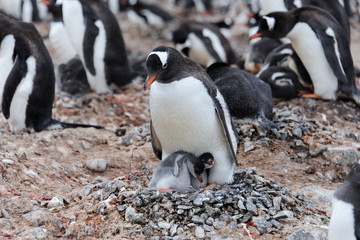 Gentoo penguin with chicks in nest