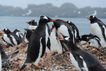Gentoo penguin feeds chick