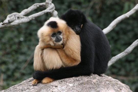 Gibbons kuschelnd schwarz weiß