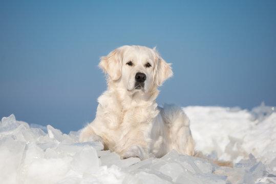 golden retriever dog lying down on ice