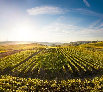 Golden Autumn Sunset over Vineyards in Germany - Pfalz