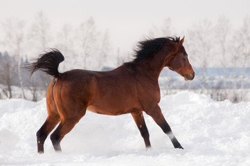 bay arabian horse runs free in winter