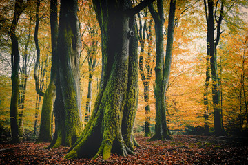Obraz Autumn Color of Beech Trees in Speulderbos - fototapety do salonu