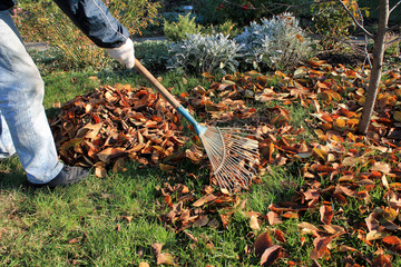 The gardener rakes up a pile of fallen autumn leaves in the garden.