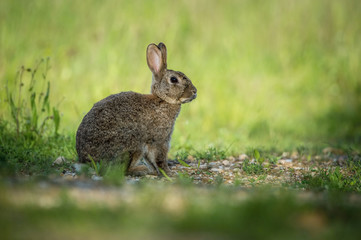 European Rabbit, Oryctolagus cuniculus is sitting in the grass during the sunset, nice meadow background, Czechia..