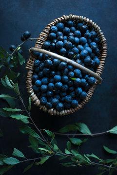 A basket of freshly picked sloe berries (Prunus spinosa)