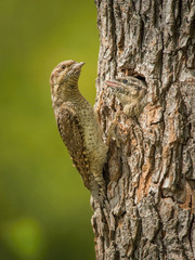 Eurasian Wryneck, Jynx torquilla is feeding its chicks in the nice green background, it is at its nest during their nesting season, golden light picture, Czech Republic