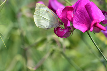 White butterfly (pieris rapae)