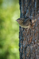 Eurasian Wryneck, Jynx torquilla is just leaving its nest in the nice green background, during their nesting season, golden light picture, Czech Republic