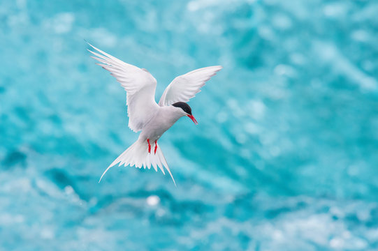 The Arctic Tern, Sterna paradisaea is soaring and  looking for the fish, in the background are pieces of blue glacier, at the famous glacier lake Jökulsárlón in Iceland ..