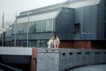 little dog in the city. travel with your pet. Jack Russell Terrier dog on the background of architecture