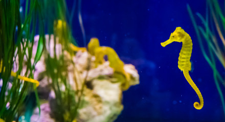 common yellow estuary sea horse in macro closeup with seahorse family in the background marine life...