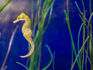 cute marine life portrait of a common yellow spotted estuary seahorse in macro closeup