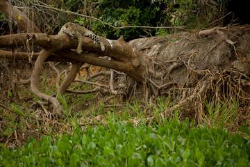 Brazilian Pantanal: The Jaguar Resting