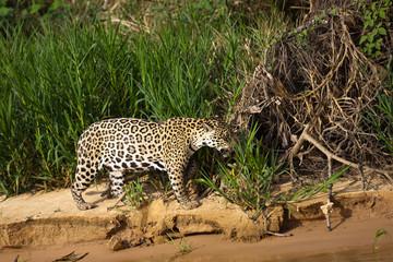 Brazilian Pantanal: The Jaguar