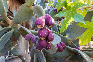 prickly pear fruit on a cactus