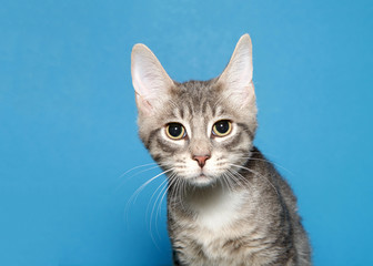 Portrait of an adorable grey and white kitten looking directly at viewer with wide eyes, pupils fully dilated. Blue background.