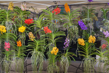 A wall of hanging orchids with long roots fills the front of the booth at the farmers market.