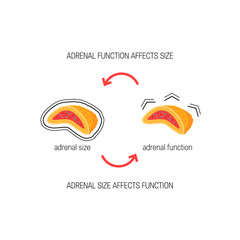 Functioning of adrenal glands, vector diagram