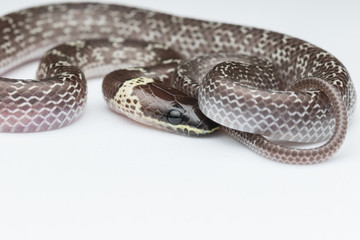 Close-up of Small snake on green leaf , Common Wolf Snake