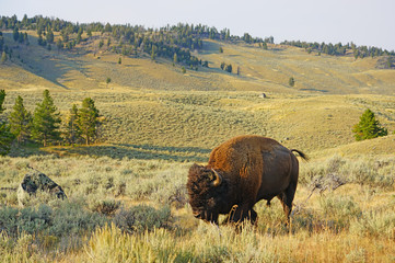 View of a single lonely bison in the grass in Yellowstone National Park, Wyoming, United States