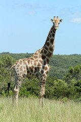 A close up of a lone giraffe standing in grasslands surrounded by bush..