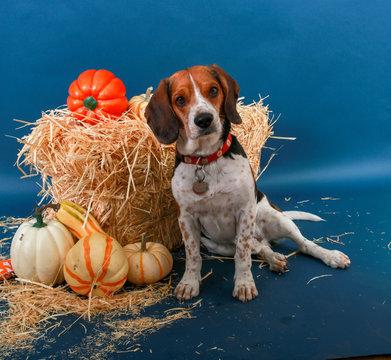 Autumn scene with Beagle and pumpkins