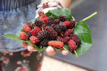 mulberry and leaves on a wooden background,Red and black berry fruit.little grap or Mon berry