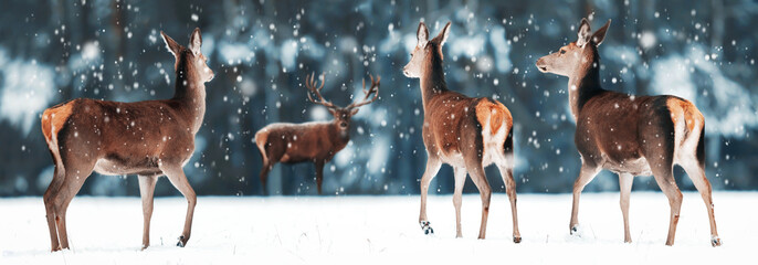 Wall Mural - Group of beautiful female and male deer in the snowy white forest. Noble deer (Cervus elaphus).  Artistic Christmas winter image. Winter wonderland.  Banner design.
