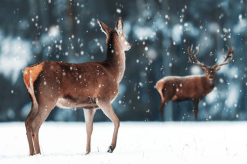 Wall Mural -  Beautiful female and male deer in the snowy white forest. Noble deer (Cervus elaphus).  Artistic Christmas winter image. Winter wonderland.  Banner design.