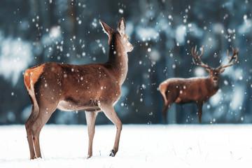 Fototapete -  Beautiful female and male deer in the snowy white forest. Noble deer (Cervus elaphus).  Artistic Christmas winter image. Winter wonderland.  Banner design.