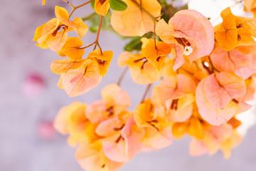 Orange bougainvillea flowers blooming on tree