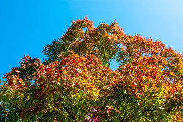 The leaves change color and blue sky. In the fall colors in Yamagata. Japan