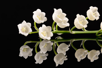 Single twig of spring flowers of Lily of the valley isolated on black background