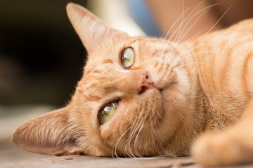 Close up Cute Ginger tabby cat focus on eye